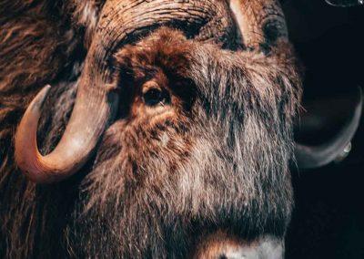 Knut, myskoxen